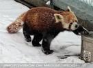 Rote Pandas im Schnee 01
