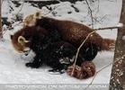 Rote Pandas im Schnee 02