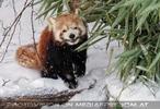 Rote Pandas im Schnee 03