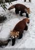 Rote Pandas im Schnee 05
