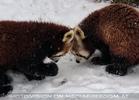 Rote Pandas im Schnee 06