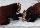 Rote Pandas im Schnee 07
