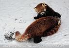 Rote Pandas im Schnee 08