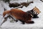 Rote Pandas im Schnee 09