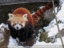 Rote Pandas im Schnee 10