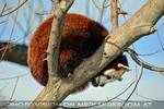 Roter Panda auf dem Ast