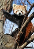 Roter Panda in der Baumkrone