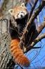 Roter Panda kratzt sich noch