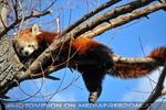 Roter Panda liegt auf dem Ast