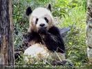 Die großen Pandas 2