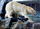 Eisbär 6