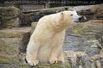 Eisbär Ausguck