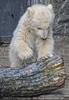 Eisbär Baby