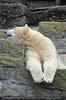Eisbär döst