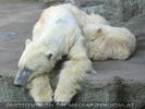 Eisbär Idylle