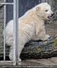 Eisbär Junges