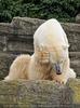 Eisbär kratzt sich