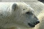 Eisbär Portrait