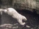 Eisbär Sprung