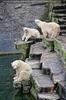 Eisbär Trio