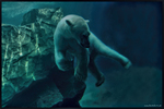 Eisb�r unter Wasser