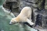 Eisbär vor Absprung