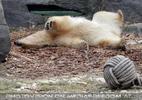Eisbär wuzelt sich