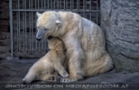 Eisbärbaby mit Mama