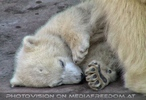 Eisbärbaby schläft