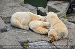 Eisbären 01