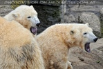 Eisbären 04