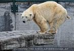 Eisbären 09