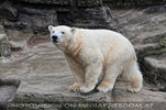 Eisbären 10