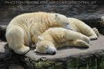 Eisbären 3
