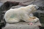 Eisbären 4
