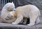 Eisbären 5