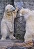 Eisbären 9