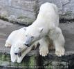 Eisbärenmama mit Baby