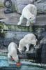 Eisbärenmama mit Babys