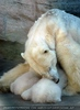 Eisbären Familie 01