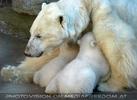 Eisbären Familie 02