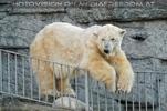 Eisbären Familie 04