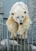 Eisbären Familie 05