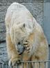 Eisbären Familie 07