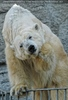 Eisbären Familie 08