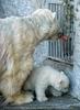 Eisbären Familie 09