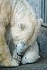 Eisbären Familie 10