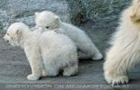 Eisbären Familie 14