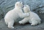 Eisbären Familie 15