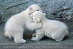 Eisbären Familie 16